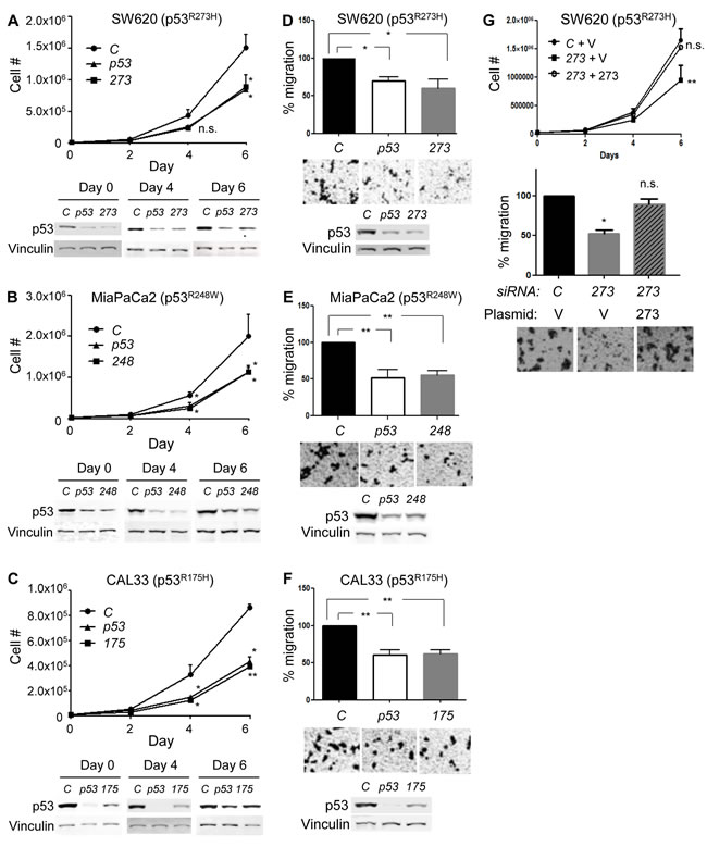 Mutp53 knockdown by mutant-specific siRNAs in cancer cells expressing mutp53 alone (p53