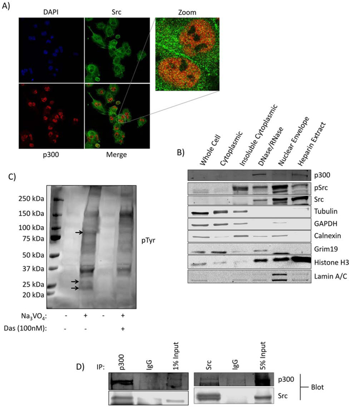 Kinase active Src is present in the nuclei of Panc-1 cells in association with p300.