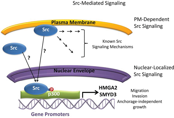 Model depicting Src signaling and the relationship with p300, HMGA2, and SMYD3 in Panc-1 cells.