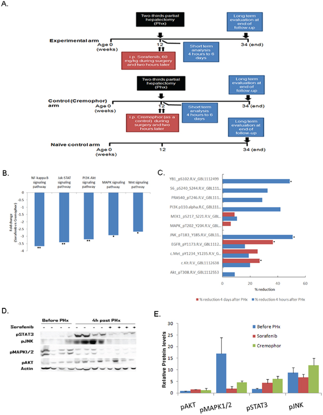 Short-term Sorafenib treatment during PHx inhibits different signaling pathways in the chronic inflamed liver