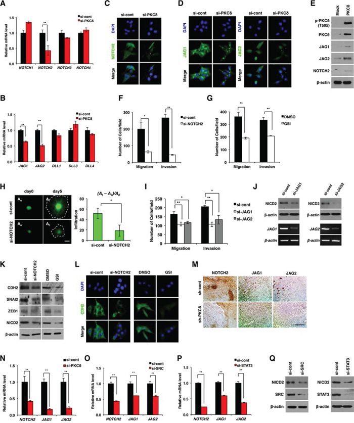 NOTCH2 is required for PKCδ-associated mesenchymal transformation.