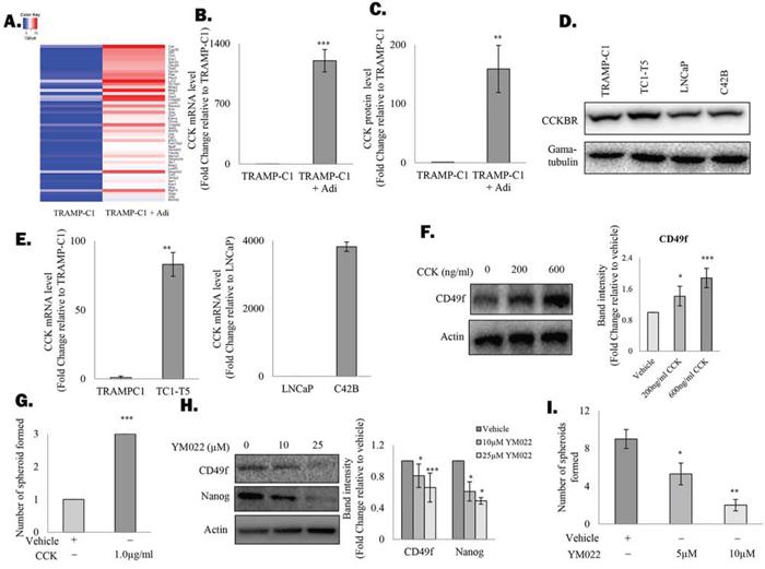 Figure 2. Adipocytes induce the cholecystokinin autocrine loop in prostate CSCs