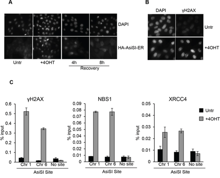 4OHT treatment triggers DSBs formation at AsiSI sites in MCF10A.