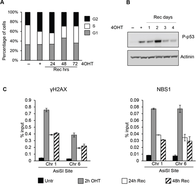 AsiSI-induced DSBs trigger DDR activation followed by efficient wave of repair.