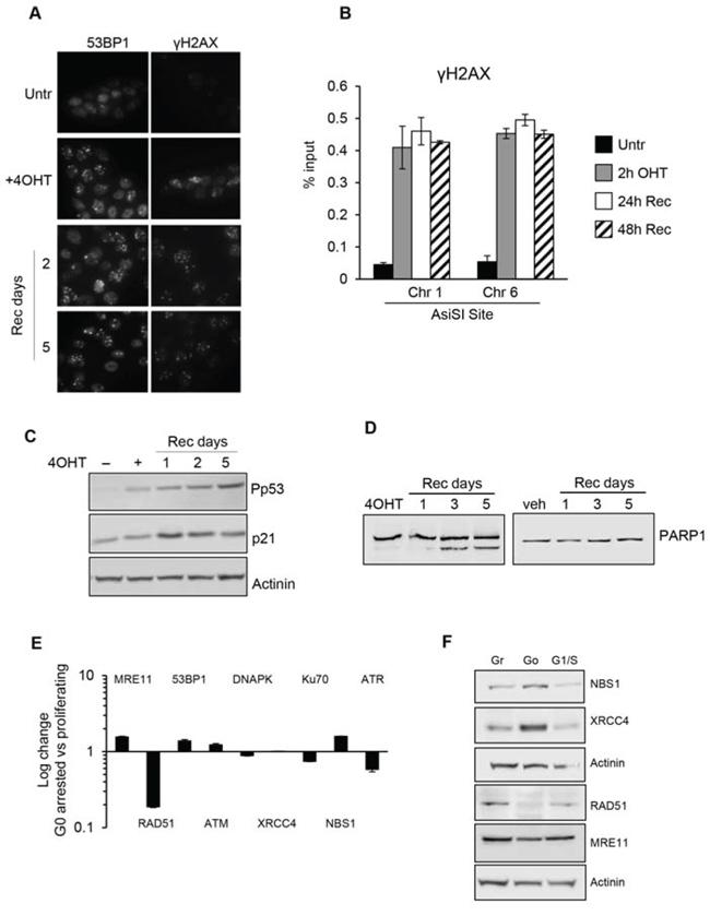G0-arrested MCF10-AsiSIER cells lack DNA repair proficiency.