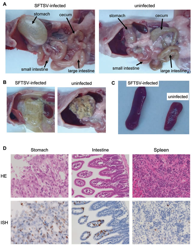 Histological features of A129 mice inoculated with a lethal dose of SFTSV.