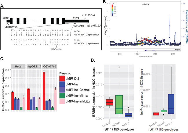 Figure 1. Genetic variants at the 3'UTR of ERBB4 are associated with decreased risk of hepatitis B virus (HBV) infection by regulating ERBB4 expression.