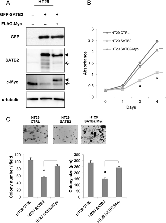 Ectopic expression of c-Myc restores the proliferation of SATB2-expressing cells.