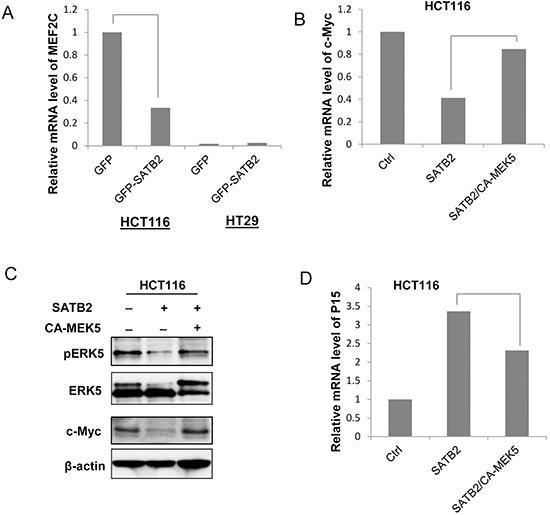 SATB2 inhibits c-Myc expression via an ERK5-dependent mechanism.