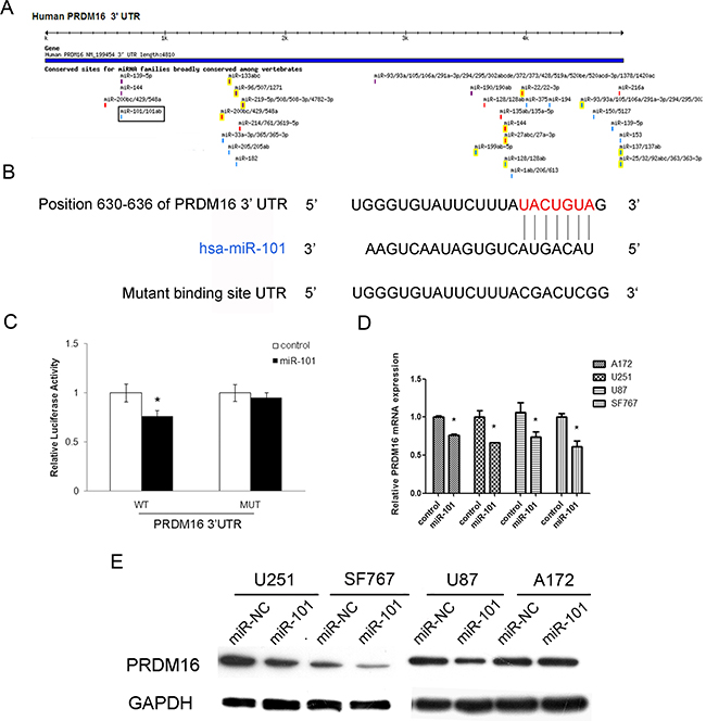 The PRDM16 gene is a direct target of miR-101.