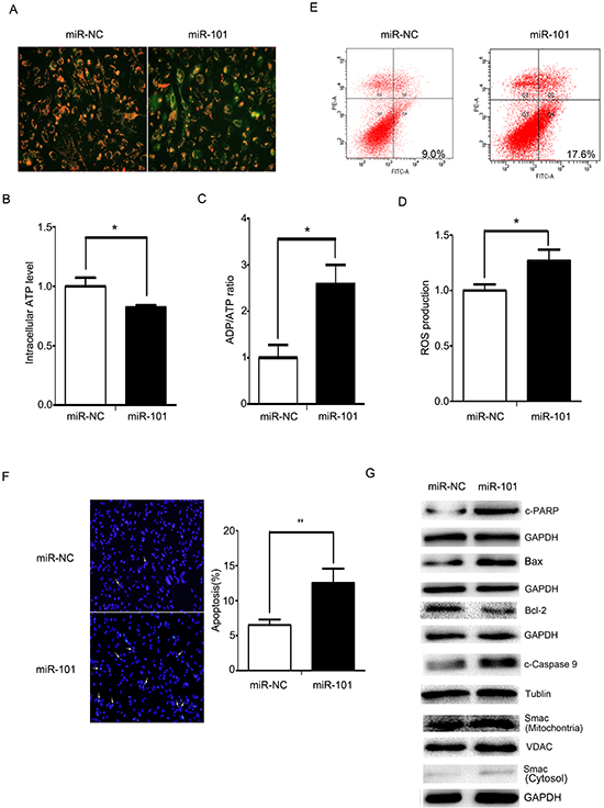 miR-101 induces cellular apoptosis via a mitochondrial pathway.