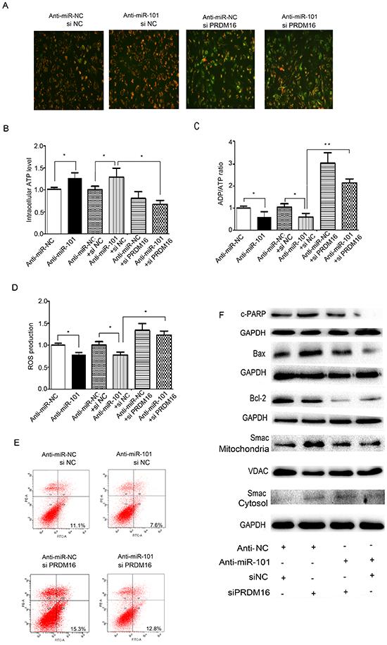 PRDM16 knockdown reversed the anti-apoptotic effect of miR-101.