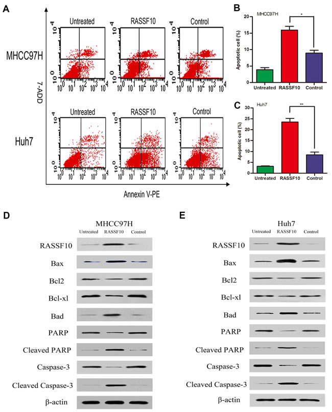 Effect of RASSF10 on apoptosis of HCC cells.