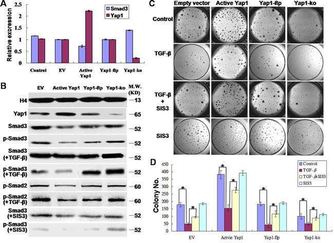 Yap1 promotes the self-renewal of breast TICs via inhibiting Smad3.