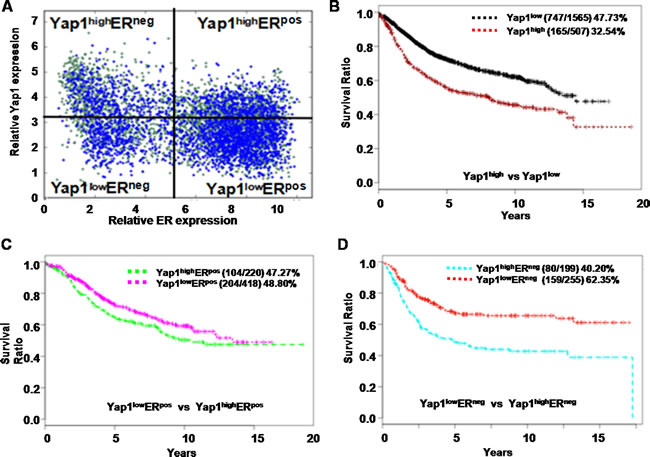 Yap1 is correlated with the outcome of human breast cancer patients.