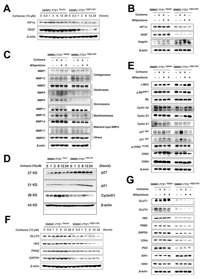 Glycolysis restriction is indispensable for 11βHSD1-mediated metastasis blocking.