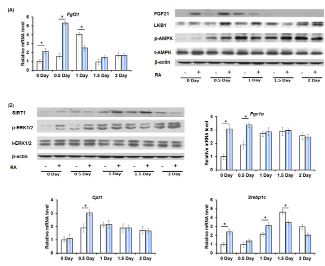 The effect of RA on the expression of factors that regulate hepatic metabolism and cell proliferation during liver regeneration.