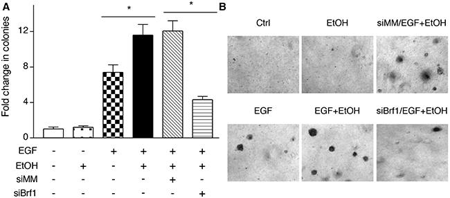 Reducing the amounts of cellular Brf1 inhibits alcohol-increased the rate of cell transformation.