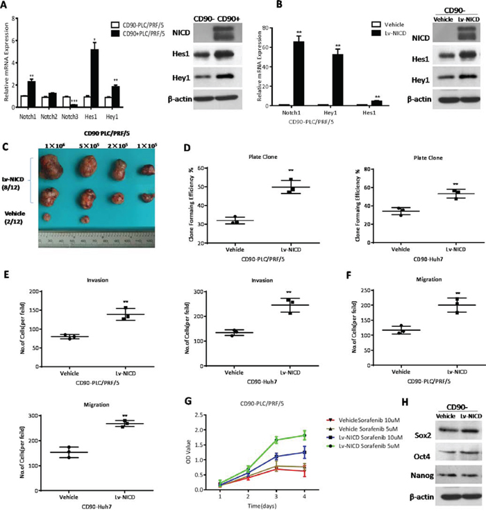 The activation of Notch signaling pathway enhanced the cancer stem cell features of CD90- HCC cells.