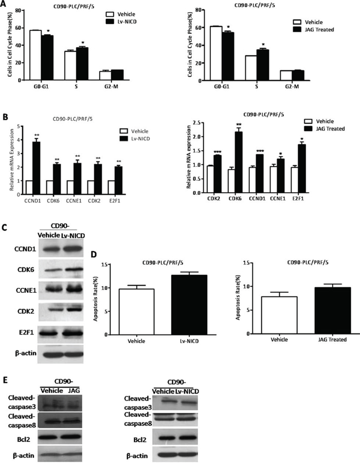 The activation of Notch signaling promoted G1-S transition in the cell cycle phase of CD90- HCC cells.