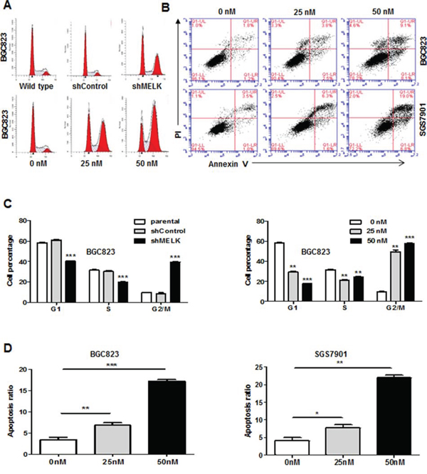 Targeting MELK expression or MELK kinase activity results in G2/M arrest and apoptosis.
