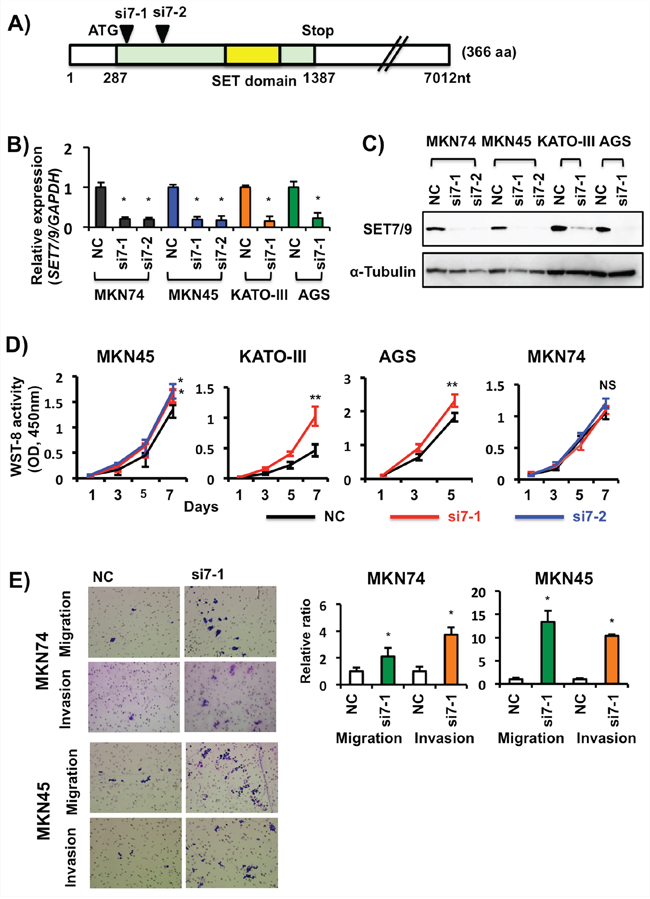 Effects of siRNA-based SET7/9 knockdown in GC cells.