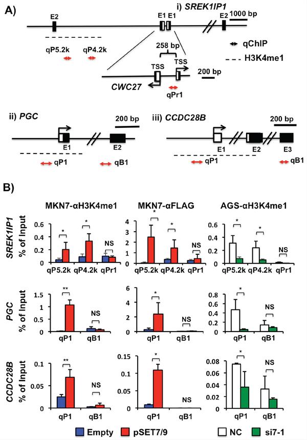 Transcriptional regulatory mechanisms of SREK1IP1, PGC and CCDC28B via H3K4me1 in GCs.