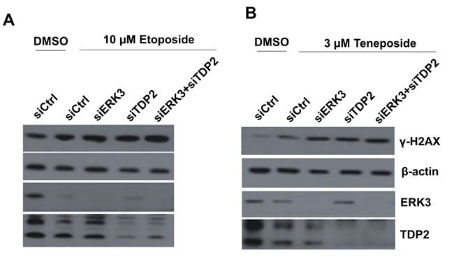 Knockdown of ERK3 and TDP2 increases H2AX phosphorylation (γ-H2AX) induced by Top2 inhibitors in H460 cells.
