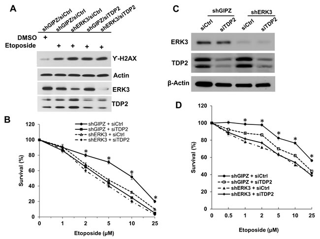 Knockdown of ERK3 and TDP2 sensitizes cancer cells to etoposide-induced cell growth inhibition.