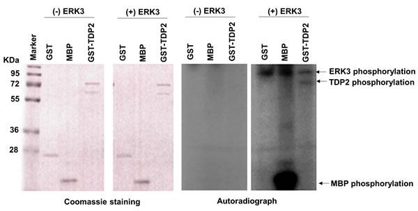 ERK3 phosphorylates TDP2