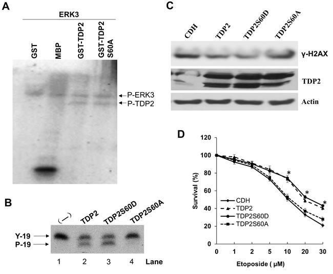 Serine 60 is required for TDP2's phosphodiesterase activity and is important for TDP2-mediated DNA repair induced by etoposide.