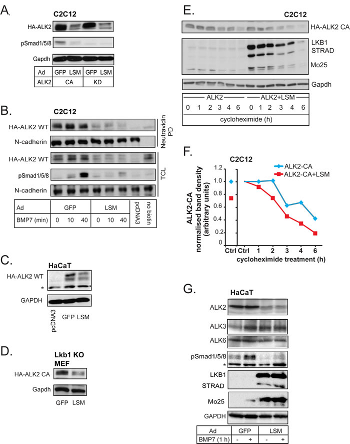 LKB1 downregulates BMP type I receptors.