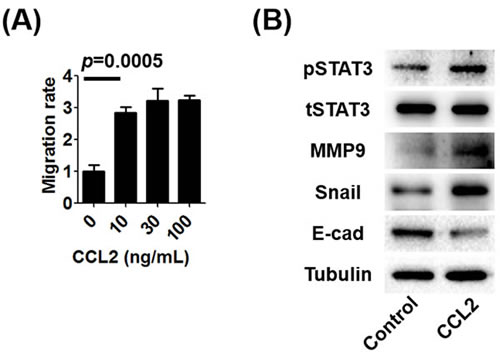 The effect of CCL2 on human prostate cancer C4-2 cells.