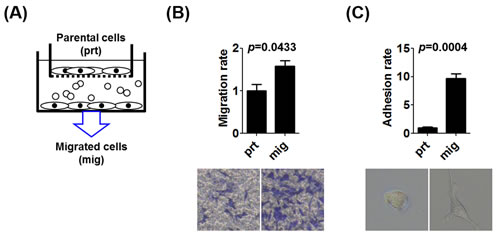 The enrichment of the population of prostate cancer cells with increased migration potential.