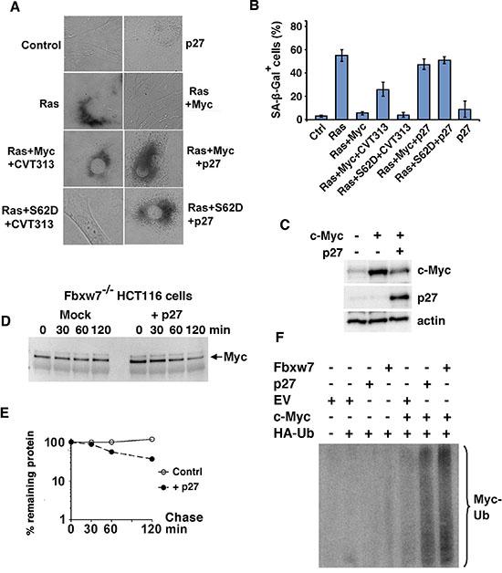 p27 overrides Myc's suppression of senescence independently of Myc Ser-62 status and induces ubiquitin-mediated degradation of the Myc protein.