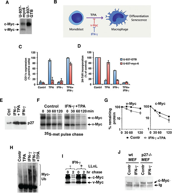 IFN-γ increases degradation and ubiquitylation of Myc through induction of p27.