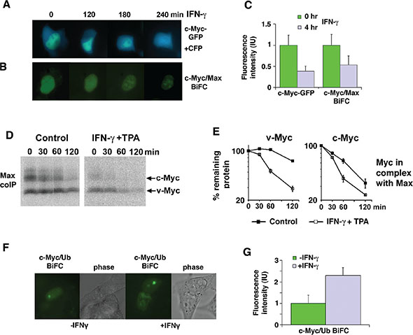 IFN-γ induces degradation of Myc in the nucleus in complex with Max.