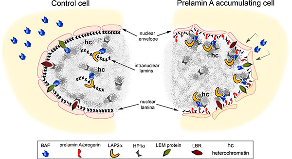 Speculative cartoon of the mechanism involving prelamin A-BAF interaction in chromatin organization change.