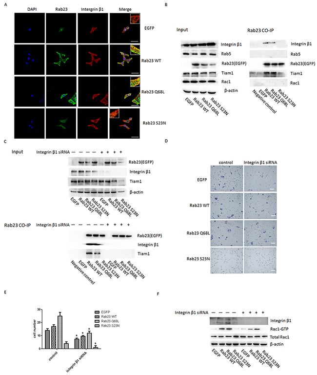Figgure 6: Rab23 regulates Rac1 by directly associating with integrin-β1 in a GTP- dependent manner.