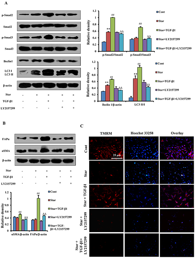 TGF-β/Smad autophagy signaling pathway was involved in TGF-β1-induced protection and formation of CAFs phenotype in Star-treated NIH3T3 fibroblasts.
