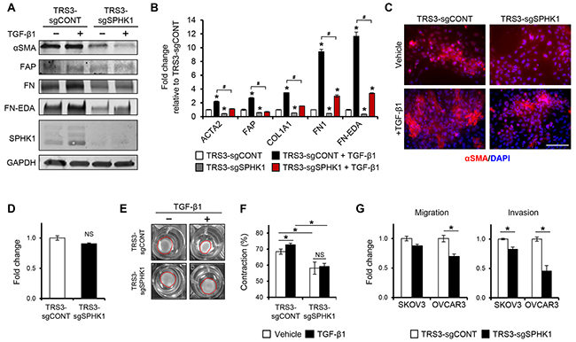 Figure 5. Knockout of SPHK1 in ovarian fibroblasts inhibits TGF-β1-induced myofibroblast differentiation and CAF-like function.