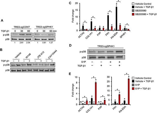 Figure 7. TGF-β1 induces p38 MAPK phosphorylation through S1PR2 and S1PR3 in ovarian fibroblasts.