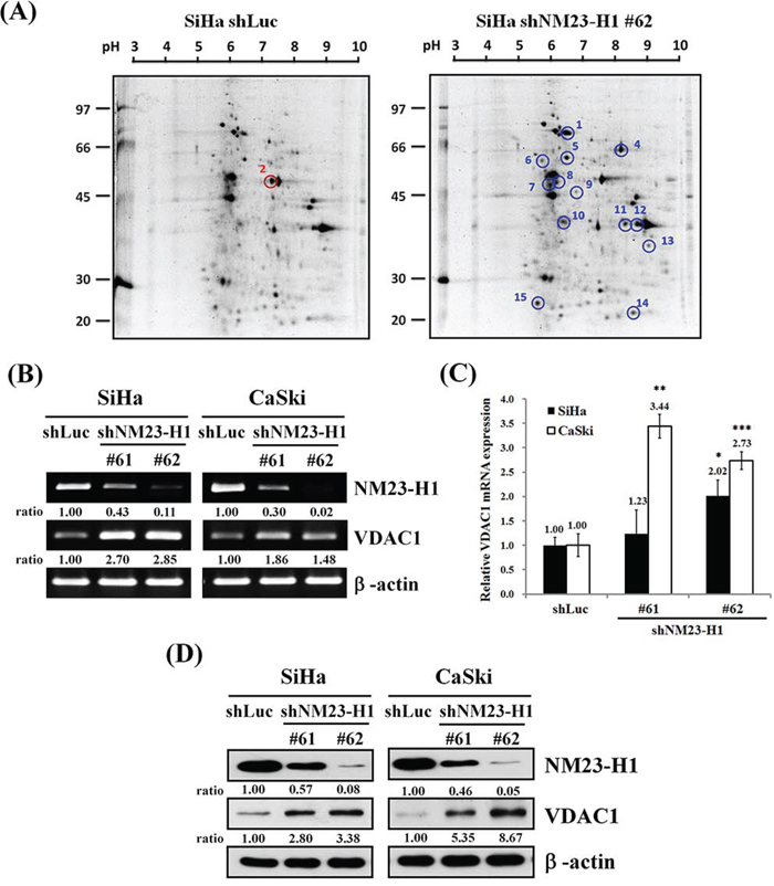 The influence of nn23-H1 on VDAC1.