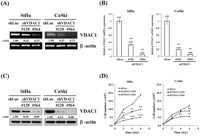 Reduced cell growth after the VDAC1 gene had been silenced in SiHa and CaSki cervical cancer cells.