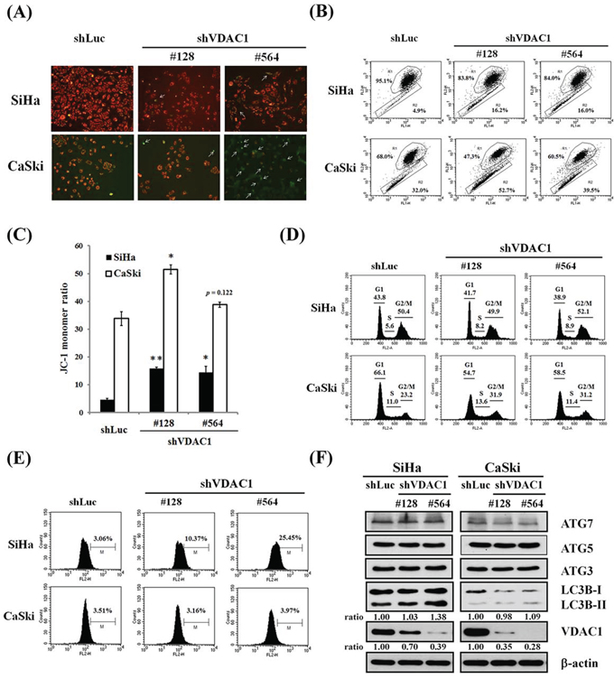 The effects of shVDAC1 on MMP, cell cycle, ROS production and autophagy.