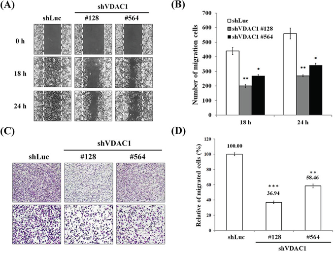 Reduced cell migration in cervical cancer cells in which the VDAC1 gene had been silenced.