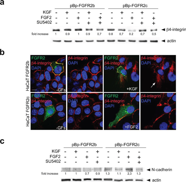 FGFR2c expression and signaling impact on β4-integrin and N-cadherin expression pattern.