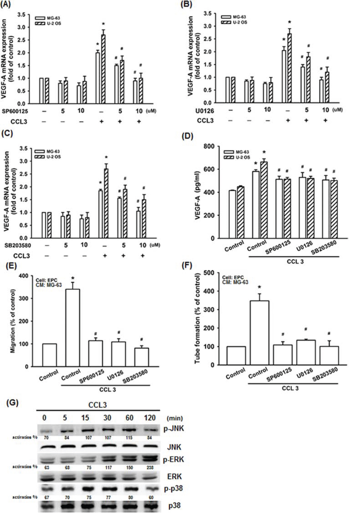 JNK, p38, and ERK activation are involved in CCL3-promoted VEGF-A expression and contributing to angiogenesis.
