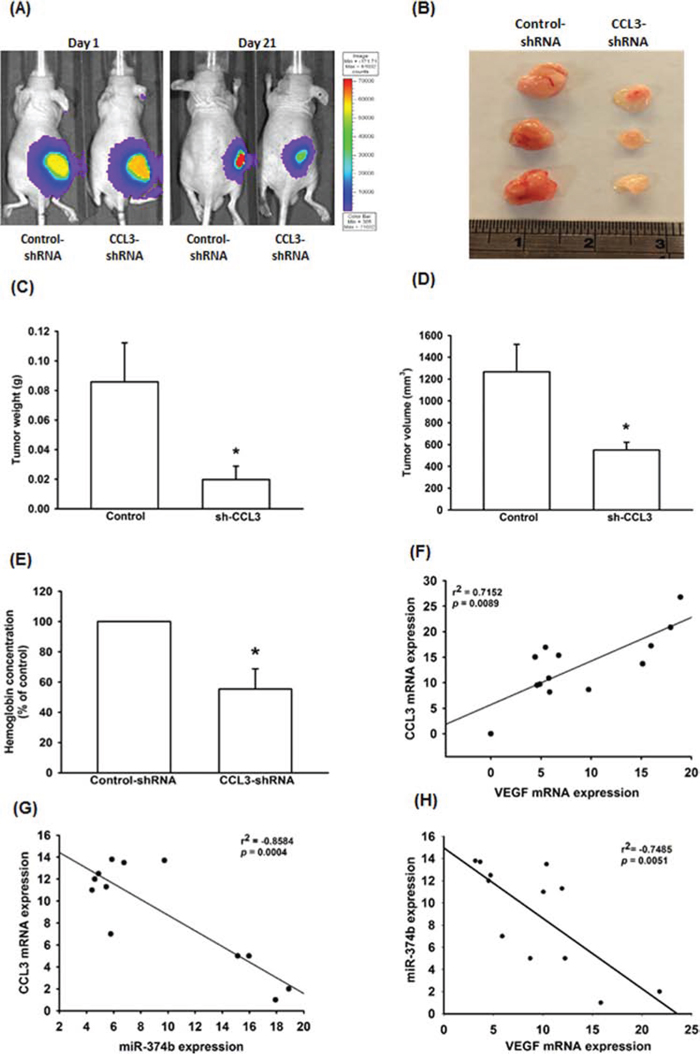 CCL3 has importance effect on in vivo angiogenesis and clinical significance.