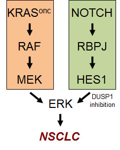 The Notch pathway cooperates with the KRAS pathway in the hyperactivation of ERK in NSCLC.